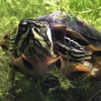 Bob the Turtle